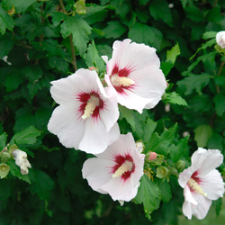Hibiscus-syriacus-Red-Heart